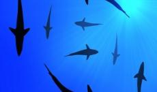 Swarm of sharks
