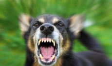 dog snarling and barking