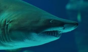 menacing shark in the water